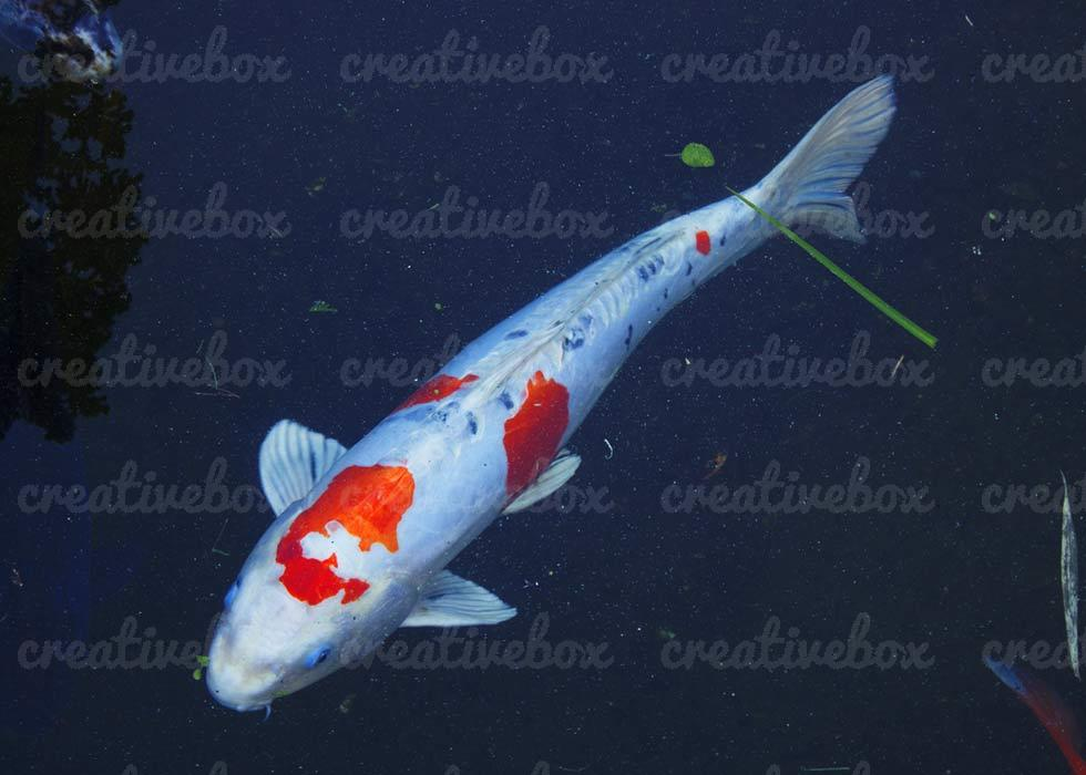 Asian koi fish 3223 creative box ideas for Koi fish size